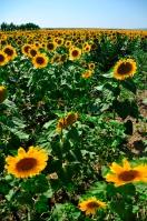 """""""Solrosdalen"""" kallas området strax väster om Sunny beach, vid foten av Balkanbergen. Där finns stora solrosfält och landsbyarna är kända för sin solrosolja."""