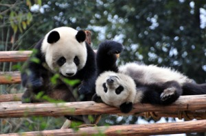 chengdu-giant-panda