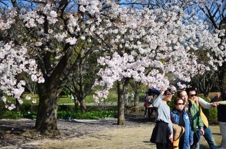 Cherry Blossom i parken utanför Imperial Palace.