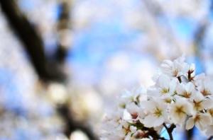 Tokyo cherry 2