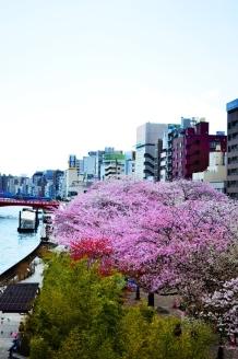 Tokyo cherry